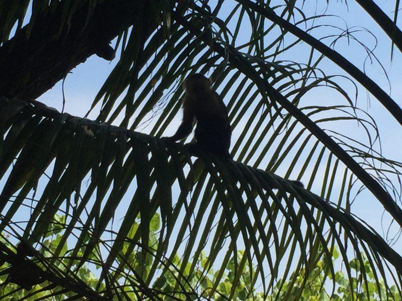 monkey in palm tree