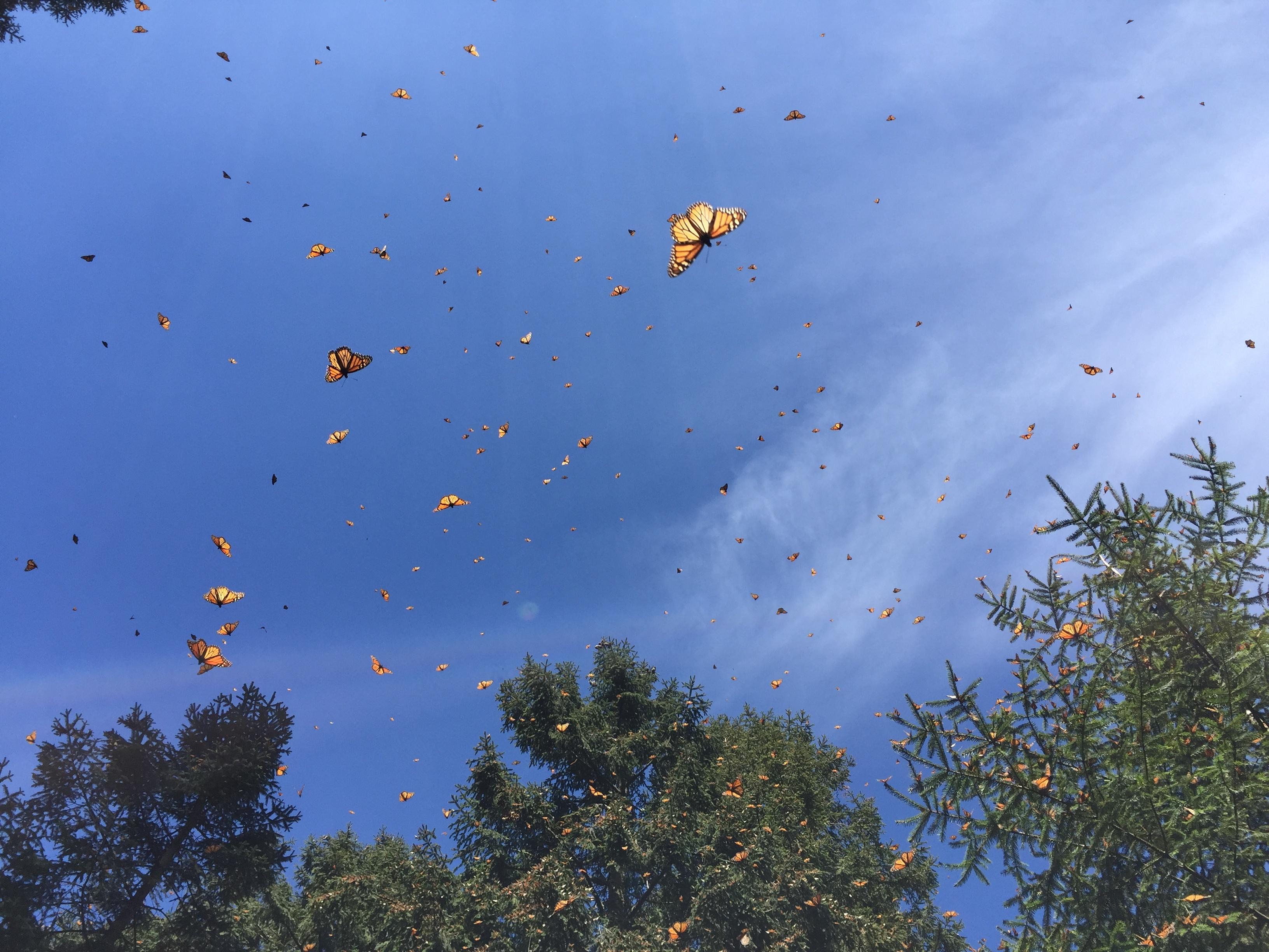flying monarch butterflies